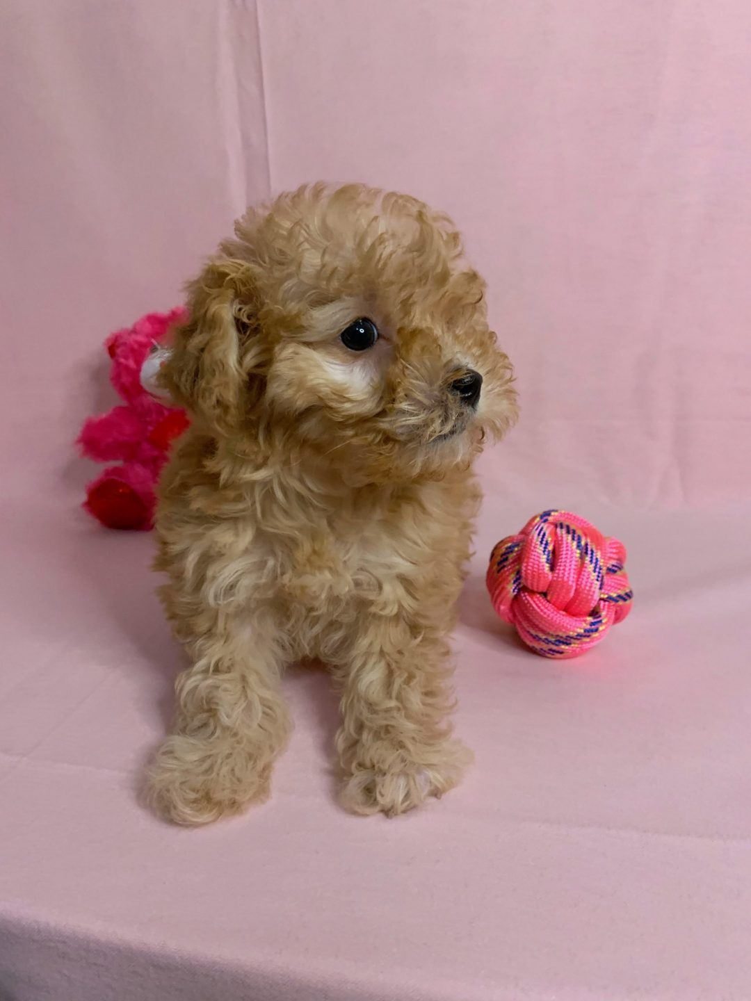 Hazel - female Malti Poo puppy
