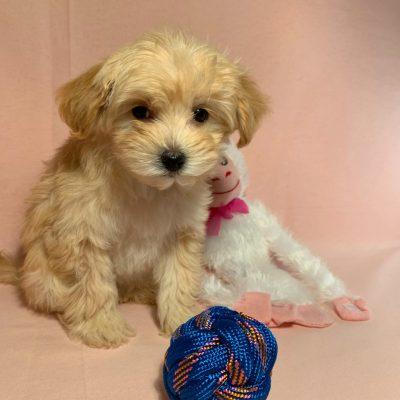 Daisy - female Malti Poo puppy