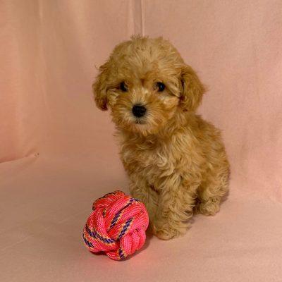 Hazel - female Malti Poo puppy