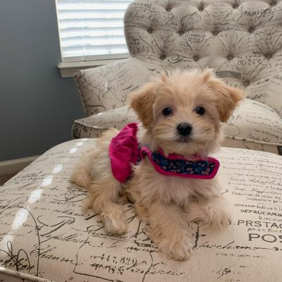 Daisy - female Malti Poo puppy
