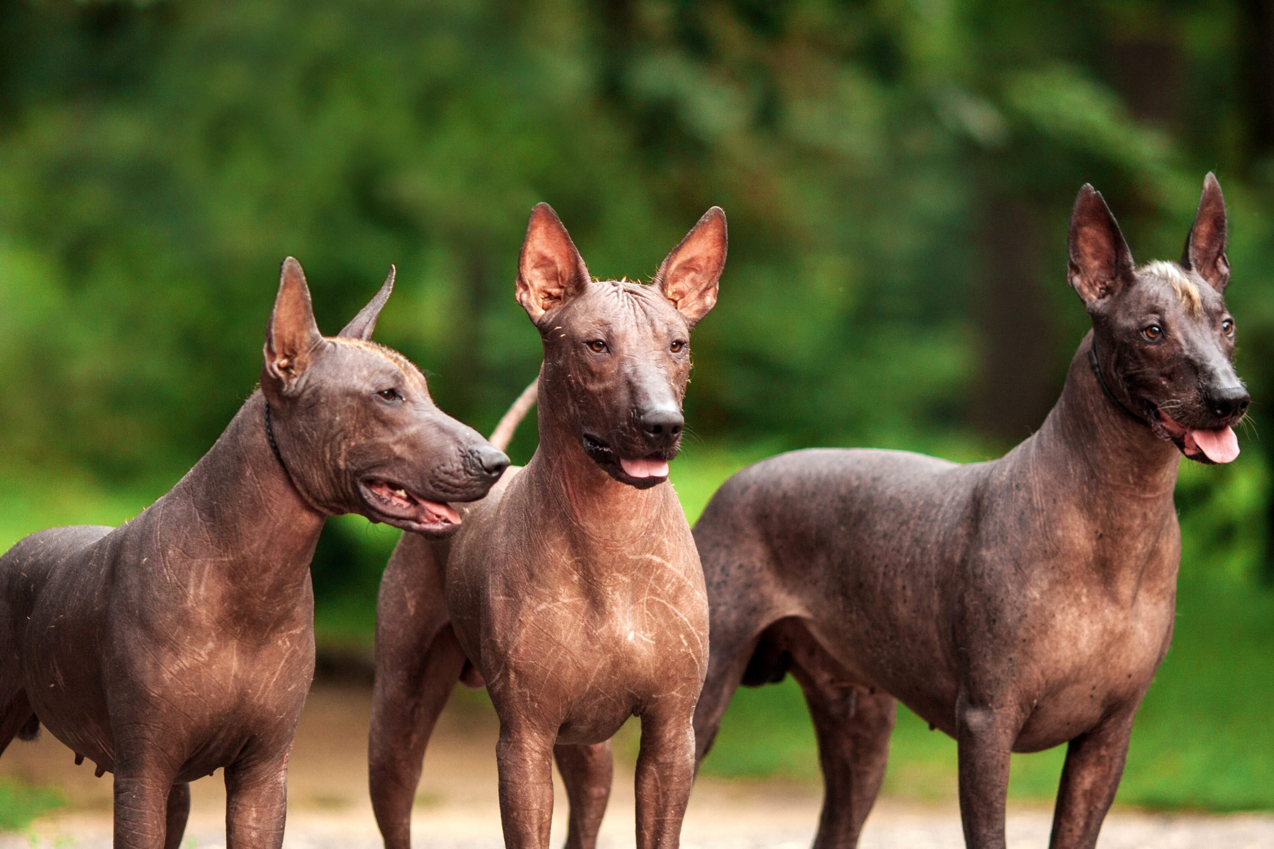 Three Mexican Hairless Dogs Outside staring intently ahead with a woods in the background.