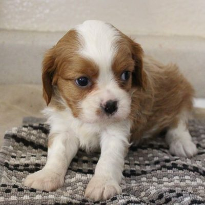 Carson - APRI Cavalier King Charles Spaniel puppy for sale at New Haven, Indiana