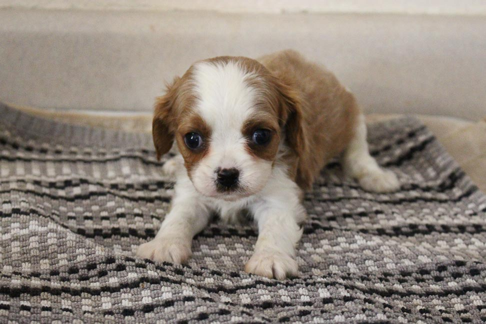 Captain - APRI Cavalier King Charles Spaniel pup for sale near New Haven, Indiana