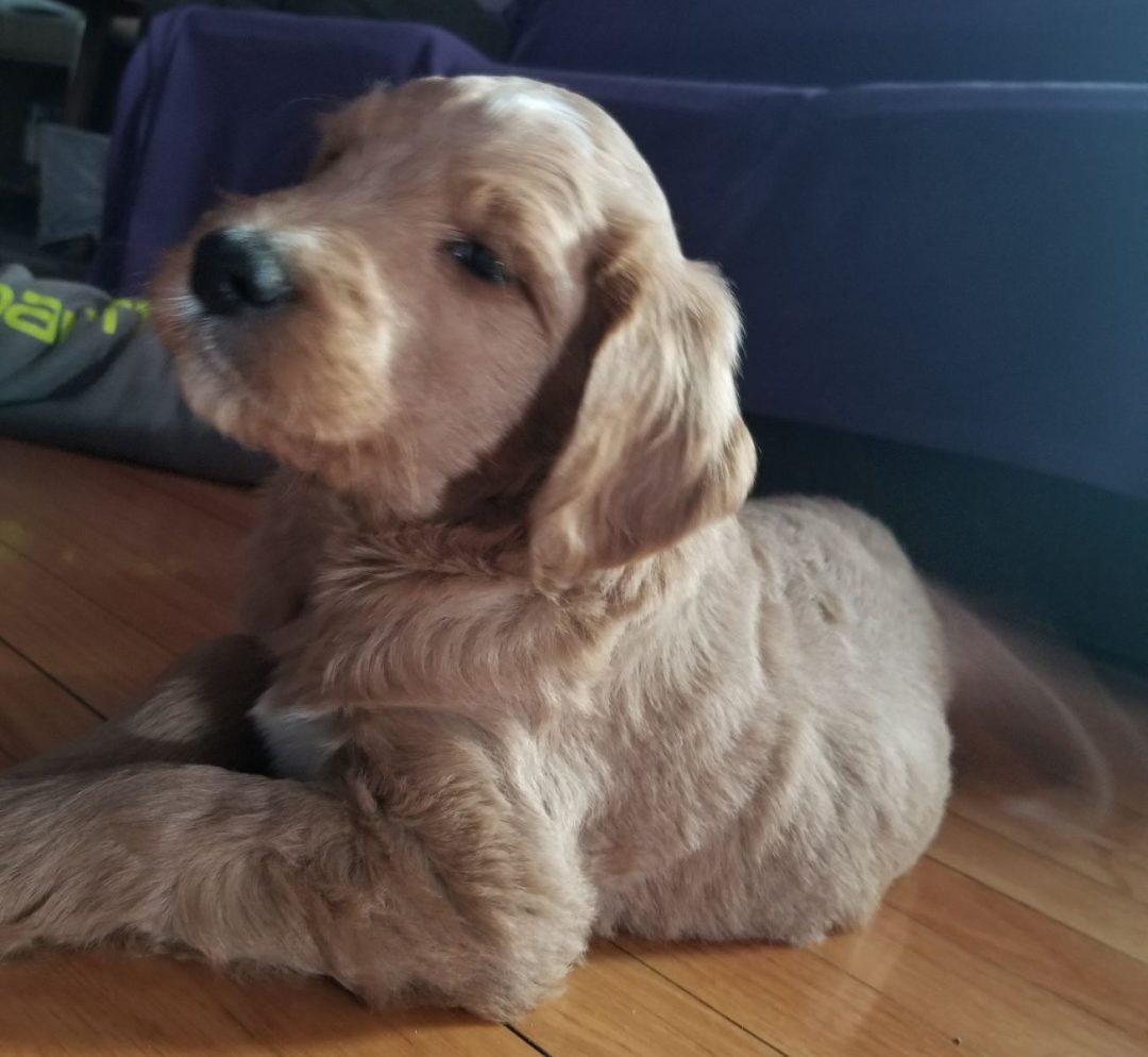 Mr. Bear - puppy Goldendoodle for sale in New Haven , Indiana