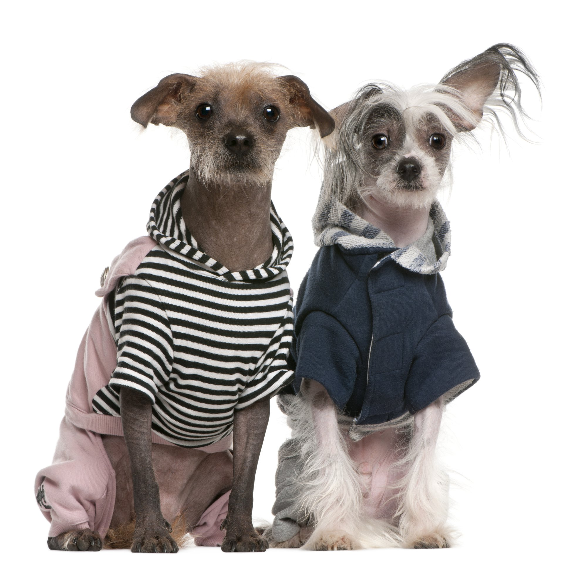 Cute Peruvian Hairless dogs all dressed up