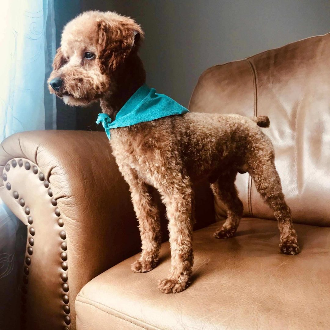 Micro Teddy Bear Bernedoodle pup for sale in Richmond, Michigan
