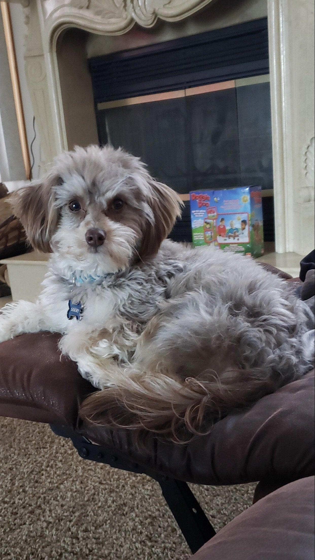 Sammy - STUD Bernedoodle pup for sale near Richmond, Michigan