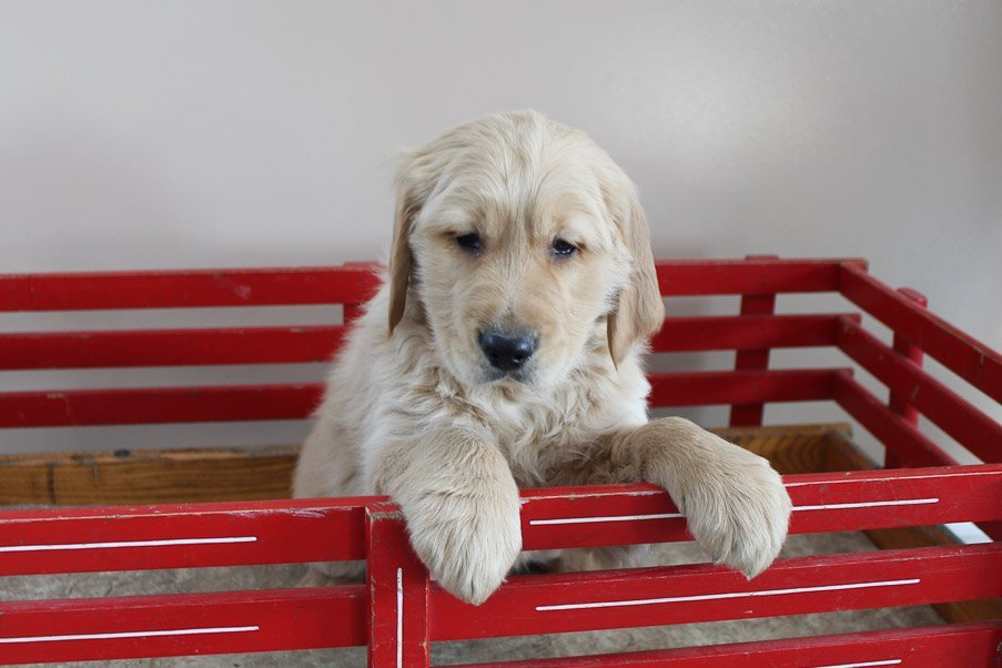 Quory - AKC Golden Retriever male pupper for sale at New Haven, Indiana
