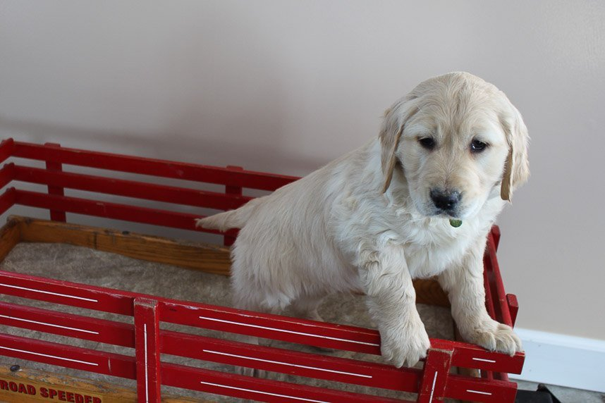 Mick - AKC Golden Retriever male puppie for sale in New Haven, Indiana