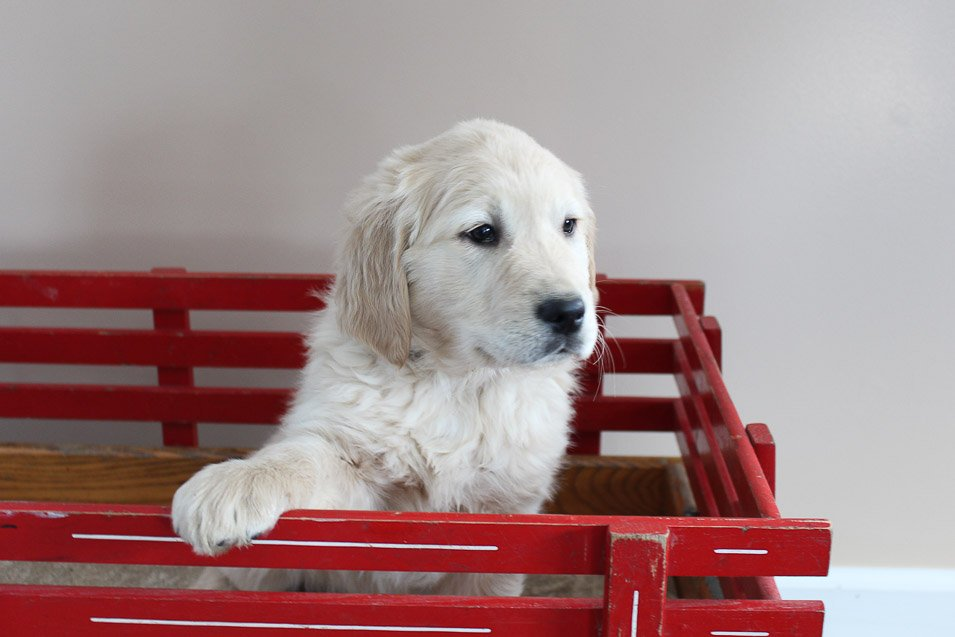Marley - male AKC Golden Retriever doggie for sale in New Haven, Indiana
