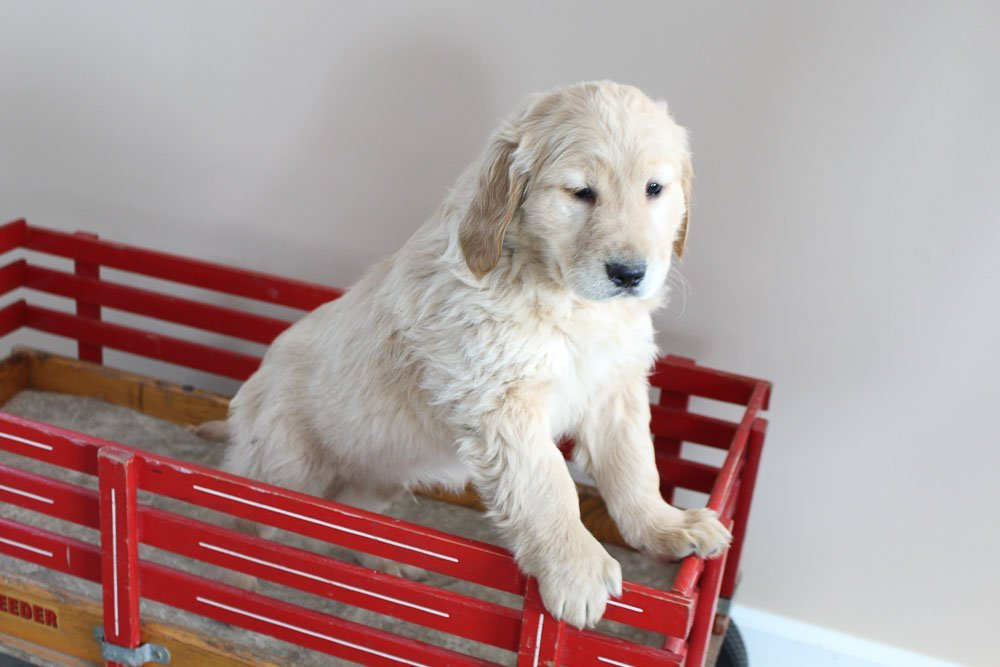 Mack - male AKC Golden Retriever puppy for sale at New Haven, Indiana