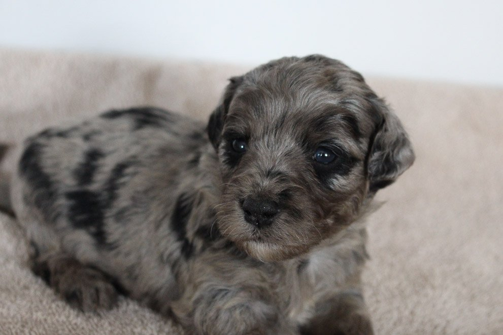 Gracie - Mini Goldendoodle female pup for sale near Woodburn, Indiana