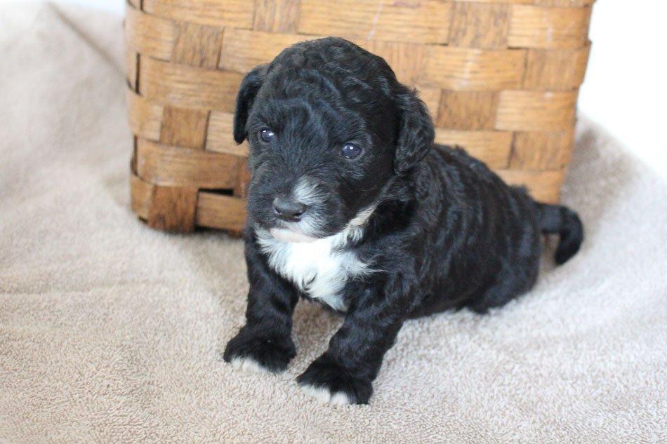 Milo - male Mini Goldendoodle doggie for sale at Woodburn, Indiana