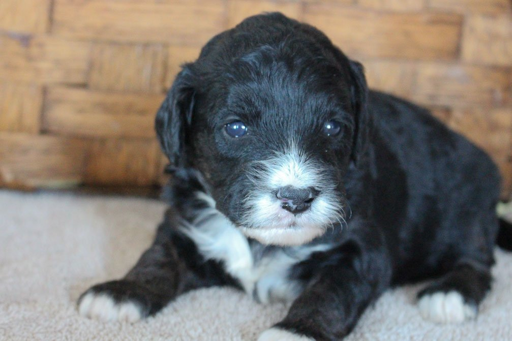 Ellie - female Mini Goldendoodle puppy for sale near Woodburn, Indiana