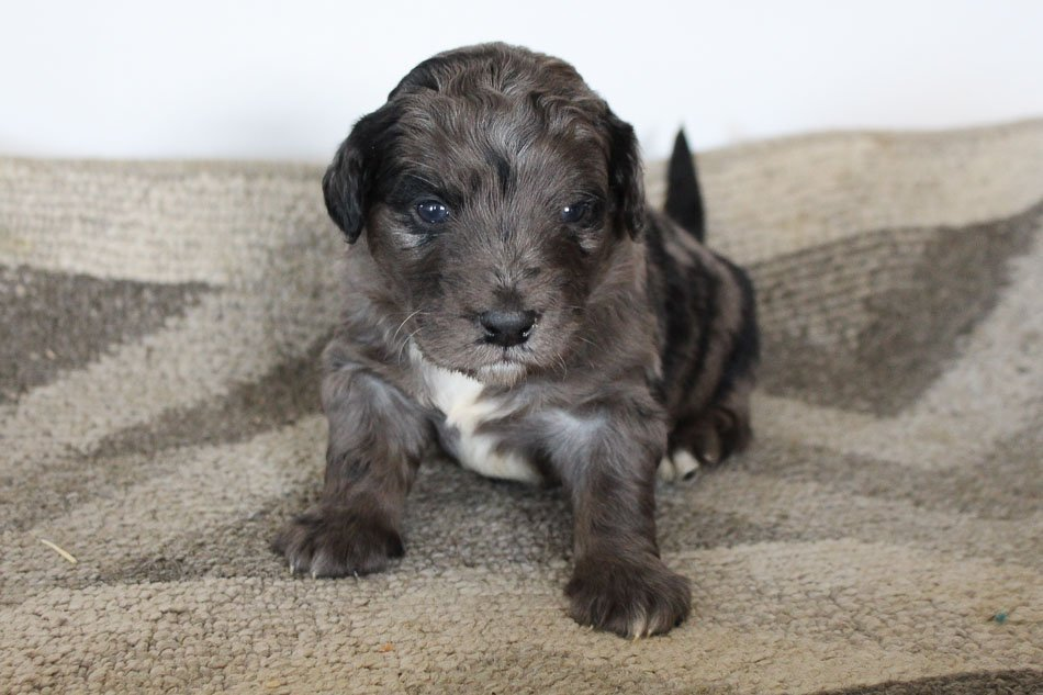Hunter - pupper Mini Goldendoodle for sale at Woodburn, Indiana