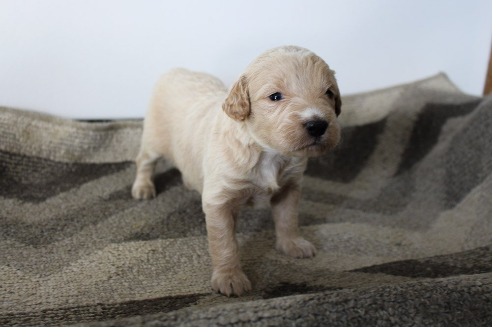 Apollo - Mini Goldendoodle male puppie for sale near Woodburn, Indiana