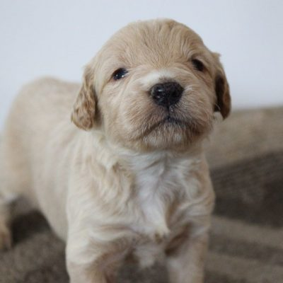 Apollo - Mini Goldendoodle male puppie for sale near Woodburn, Indiana