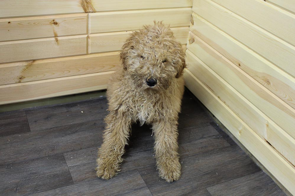 Buddy- male Mini Goldendoodle puppy for sale at Woodburn, Indiana