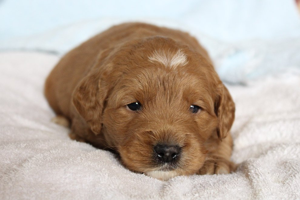 Jaylon - Mini Goldendoodle doggie for sale in New Haven, Indiana