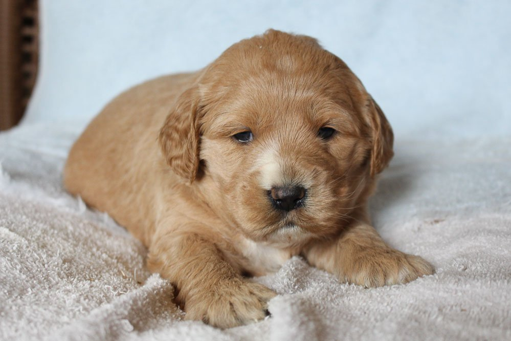 Nikki - puppy Mini Goldendoodle for sale at New Haven, Indiana