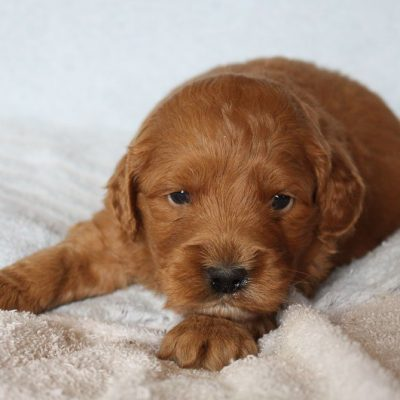 Chance - Mini Goldendoodle male pup for sale at New Haven, Indiana