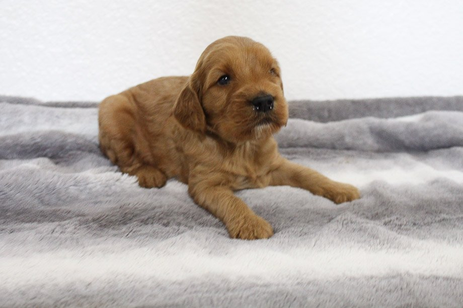 Taylor - male Mini Goldendoodle puppie for sale in Spencerville, Indiana
