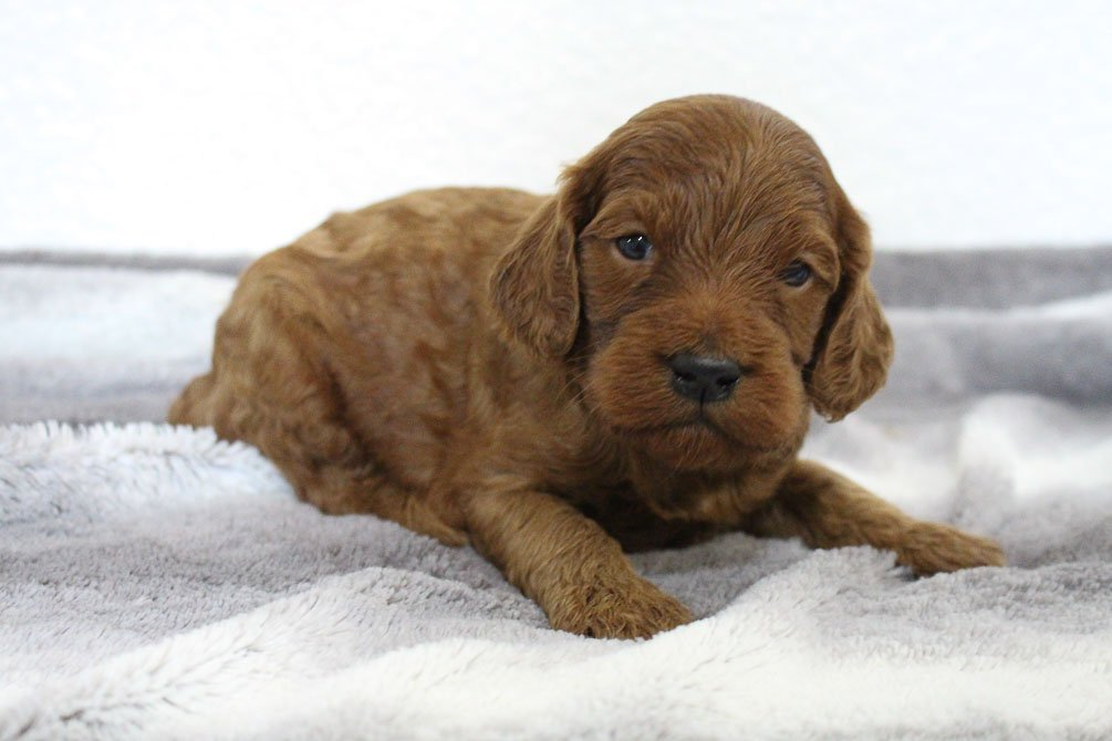 Danny - Mini Goldendoodle male doggie for sale at Spencerville, Indiana