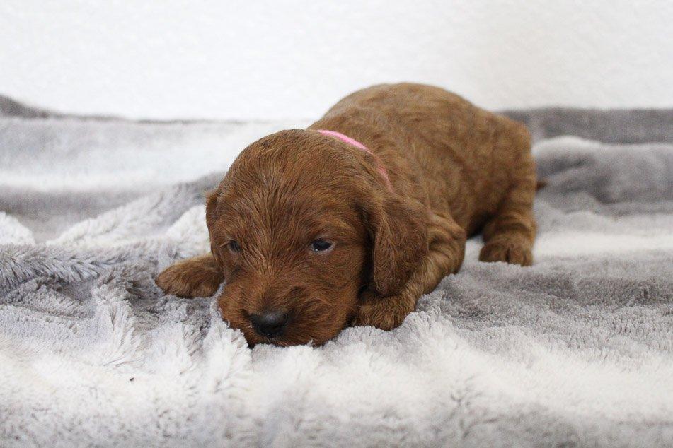 Debbie - puppy Mini Goldendoodle female for sale near Spencerville, Indiana