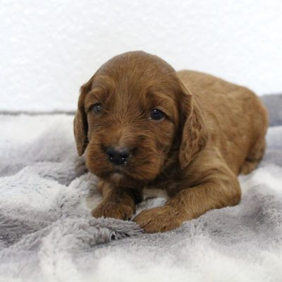 Sadie - Mini Goldendoodle female pup for sale in Spencerville, Indiana
