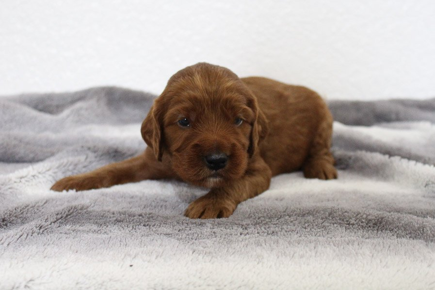 Arlo - Mini Goldendoodle female pupper for sale at Spencerville, Indiana