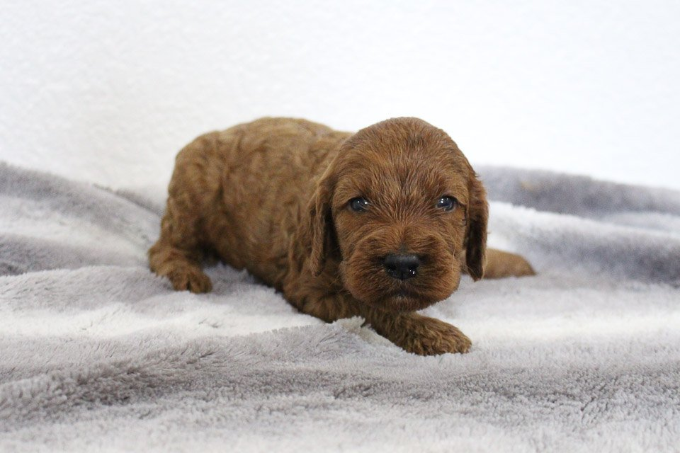 Sheila - Mini Goldendoodle female puppie for sale near Spencerville, Indiana
