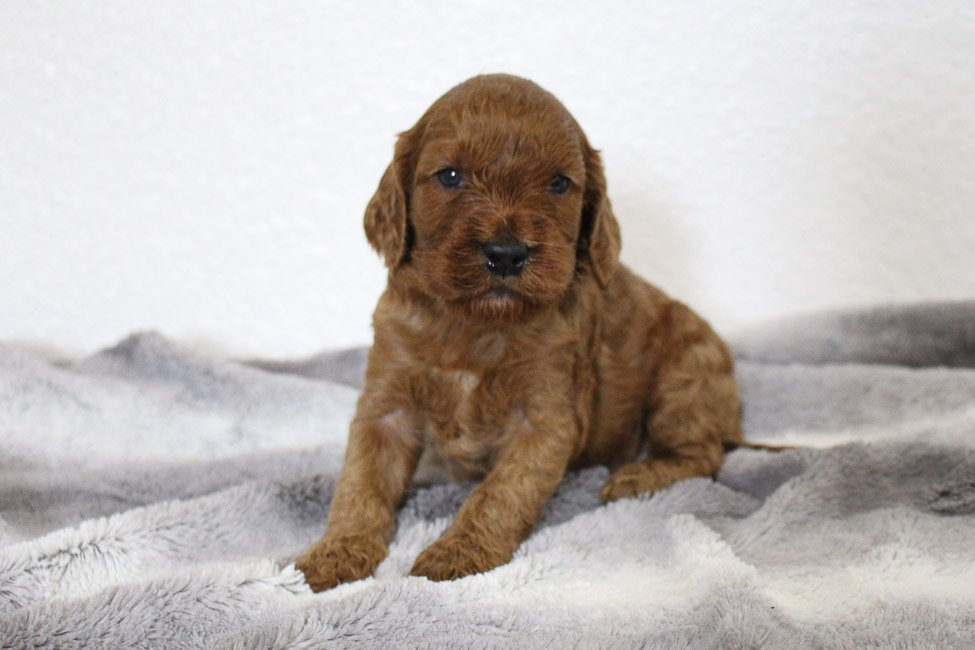 Mayzie - female Mini Goldendoodle puppy for sale in Spencerville, Indiana