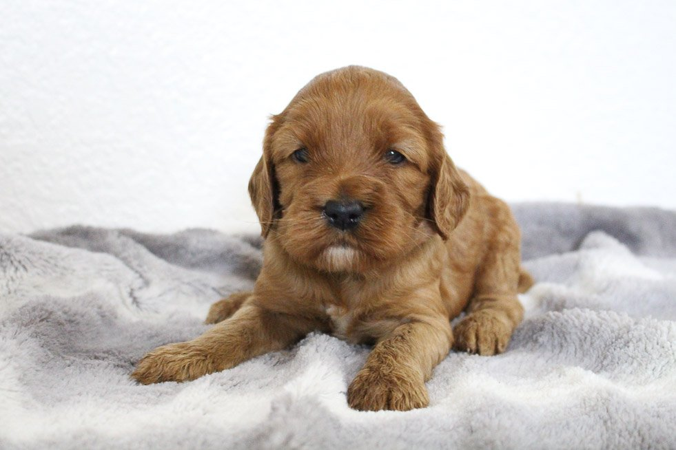 Sandy - Mini Goldendoodle female pup for sale at Spencerville, Indiana