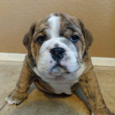 Ophelia - English Bulldog