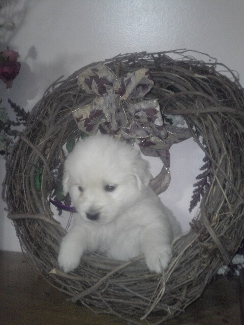 Boy - AKC English Cream Golden Retriever pup for sale at New Haven, Indiana