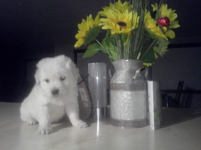 Girl - AKC English Cream Golden Retriever puppy for sale in New Haven, Indiana