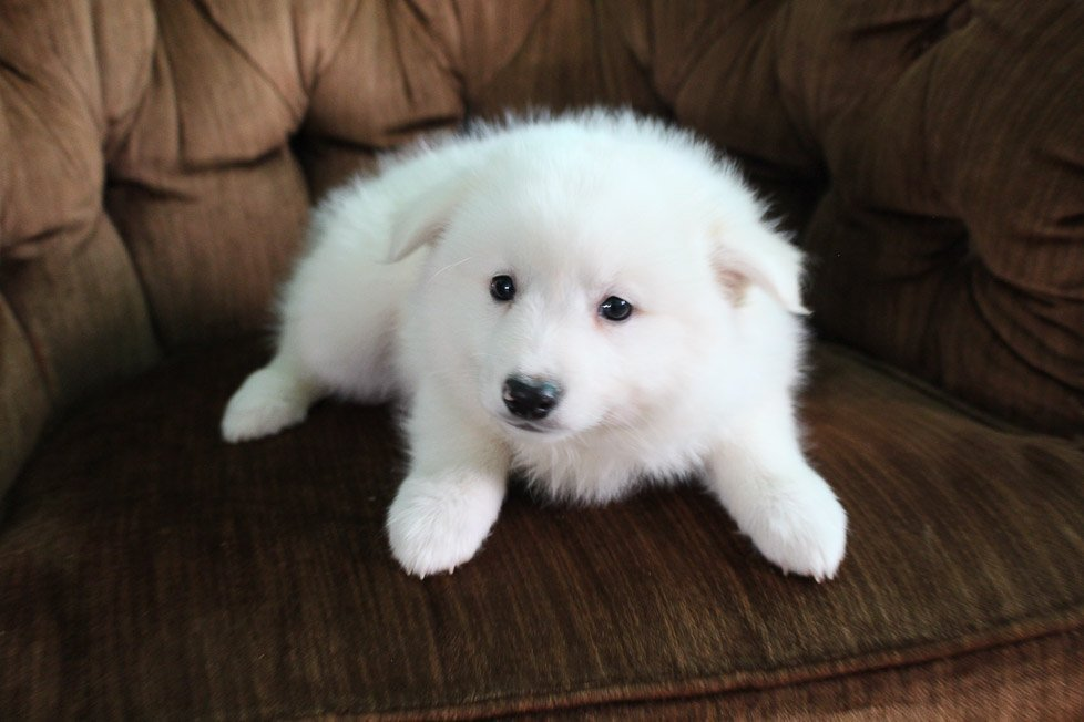Snowball - male American Eskimo puppy for sale in Spencerville, Indiana