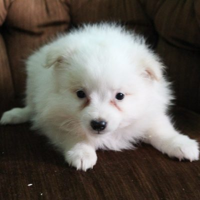 Fluffy - American Eskimo female pup for sale at Spencerville, Indiana