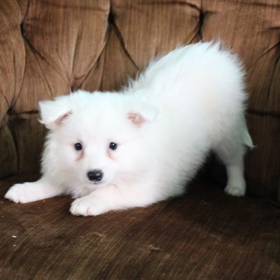 Bella - American Eskimo female pupper for sale near Spencerville, Indiana