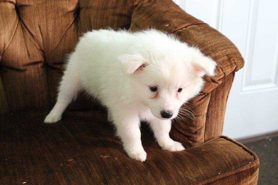 Bella - American Eskimo female pupper for sale near Spencerville, Indiana