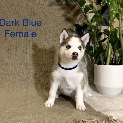 Gracie - Alaskan Husky doggie for sale in Antelope, California