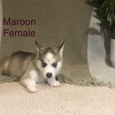 Kiki - Alaskan Husky female pup for sale in Antelope, California