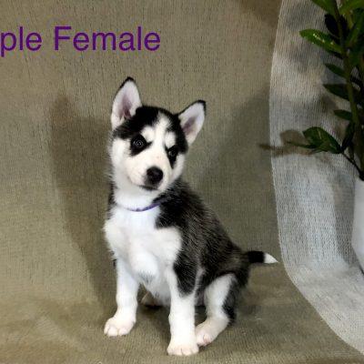 Jesse - Alaskan Husky female pupper for sale at Antelope, California