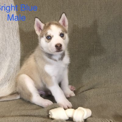 Hero - male Alaskan Husky puppy for sale near Antelope, California