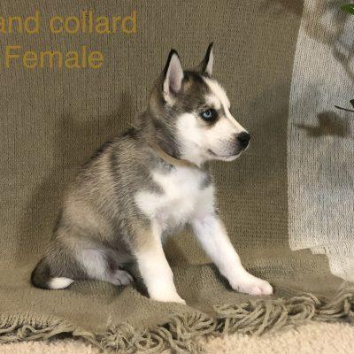 Bailey - Alaskan Husky female doggie for sale at Antelope, California