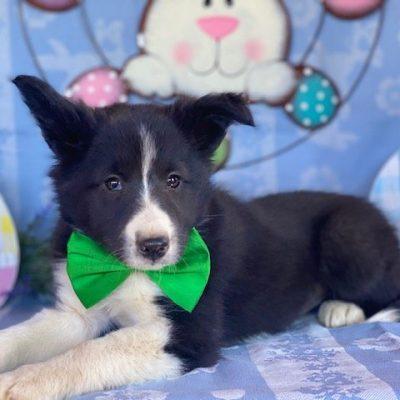 Boone - Shelti Mix doggie for sale at Christiana, Pennsylvania