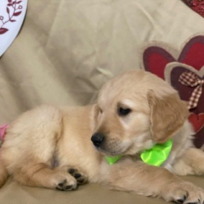 Oakley - puppy AKC Golden Retriever for sale in Delta, Pennsylvania