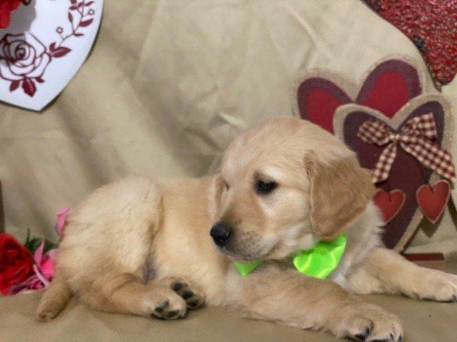 Oakley - puppy AKC Golden Retriever for sale in Delta, Pennsylvania