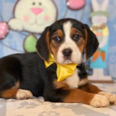 Beagle (Copy)