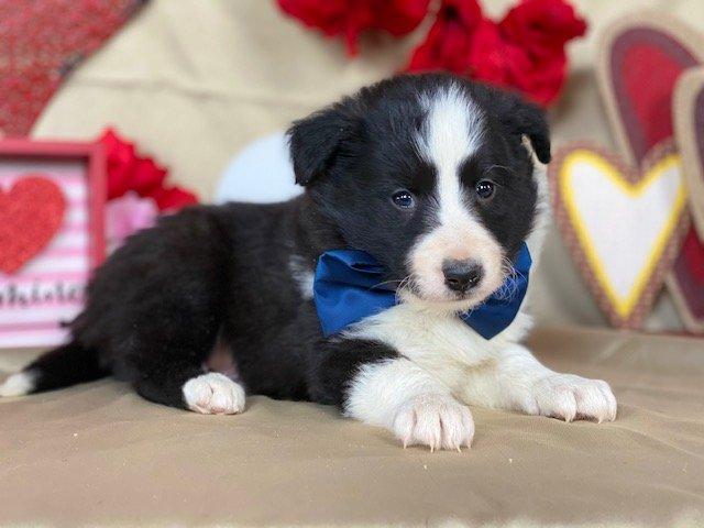 Alex - Shelti Mix puppy for sale in Christiana, Pennsylvania